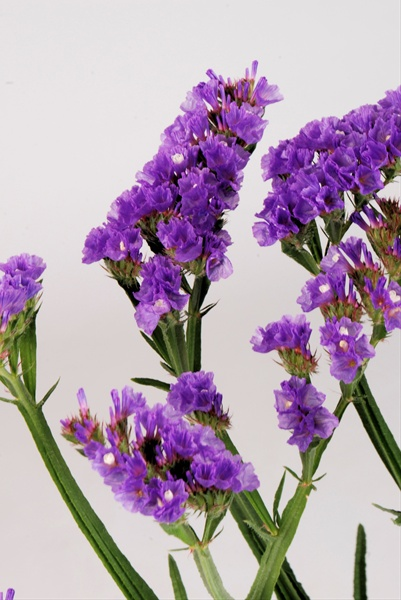 T Culture Purple   Sinuata  Statice    Limonium   Flowers by     Grower and Breeder Information