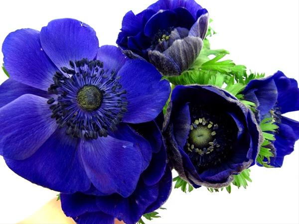 Blue Anemones Flowers Garden Design Ideas