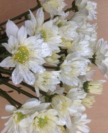 Daisy white with Silver Glitter   Spray  Pompoms    Chrysanthemum     added by Louise