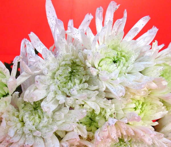 Pom White with Glitter   Spray  Pompoms    Chrysanthemum   Flowers     Pom White with Glitter   Spray  Pompoms    Chrysanthemum   Flowers by  category   Sierra Flower Finder