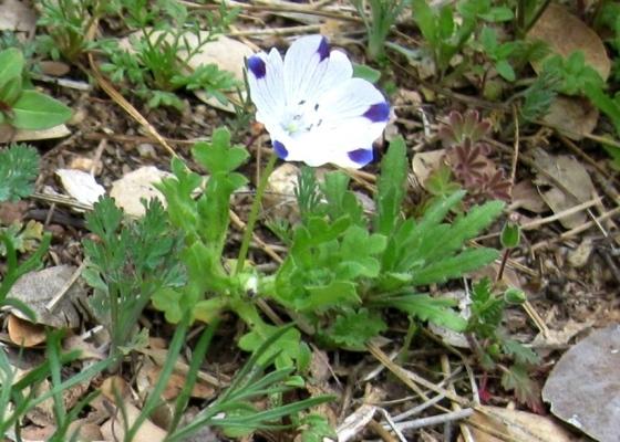 Five spot, Nemophila maculate