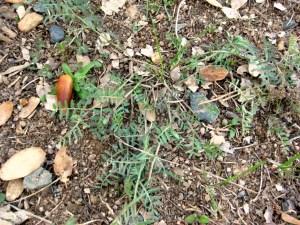 Winter Vetch, Vicia villosa W