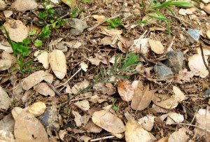 Blue flax, Linim lewisii seedling CA