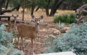 2007-9 Deer in the garden & Rain (2)
