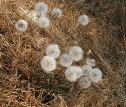 The Grand Mountain Dandelion seedheads is how to can distinguish them from the ordinary.