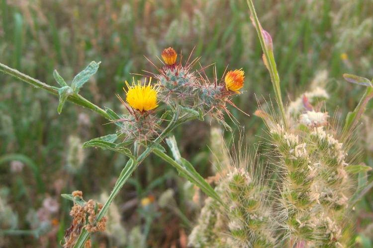 Common weeds of the Sierra foothills   Sierra Foothill Garden