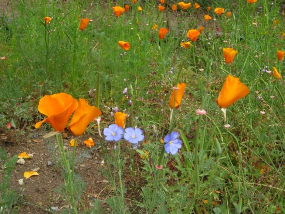 Poppies are fewer and the flax starting to apear and fill in