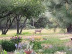 2011 Spring Rain garden deer