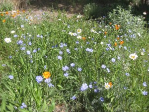 The flax took two seasons to bloom, but oh, well worth the wait!