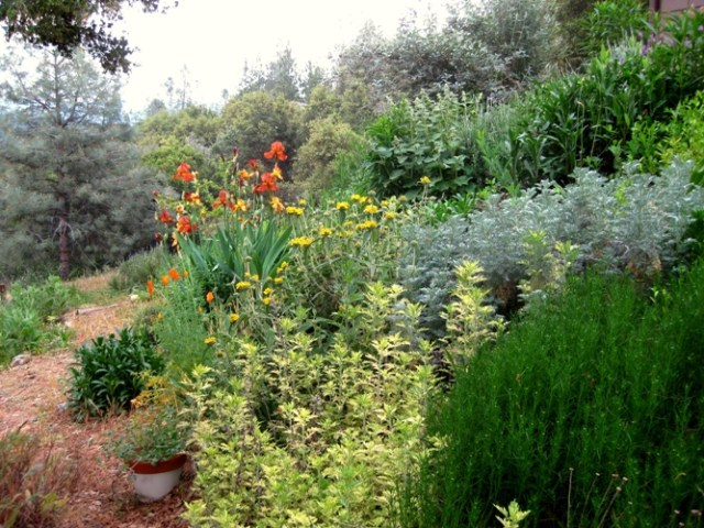 The back slope now, lime green Artemisia, Rosemary, Rockrose, yellow Jerusalem sage, Iris, Lavender and Butterfly bush
