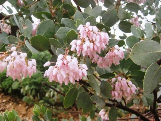 Arctostaphylos viscida blooms, tiny vase-shaped