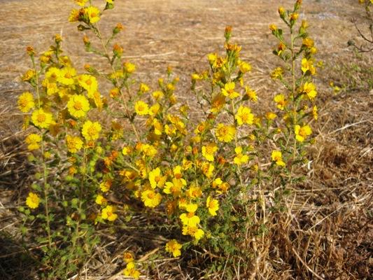 Holocarpha heermannii, Heermann's tarweed