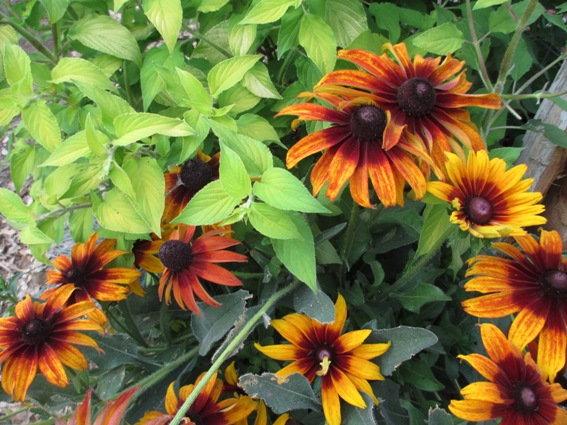 Pineapple sage and Rudbeckia