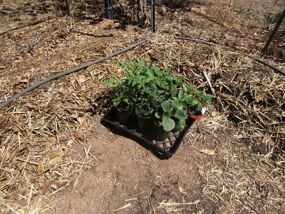 Tomatoes, peppers, cucumbers planted early this drought year, on March 30!