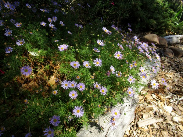 Swan River Daisy, Brachyscome is blooming now