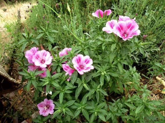 Clarkia amoena ssp. amoena or Farewell to Spring
