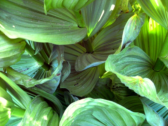 Corn lily or skunk cabbage (9)