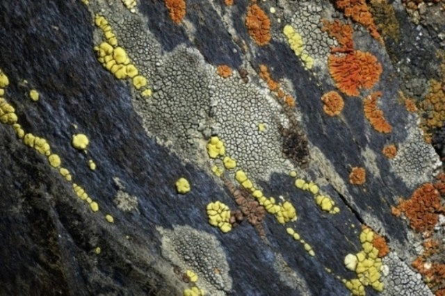 A close view of crustose lichens growing on tombstone slate