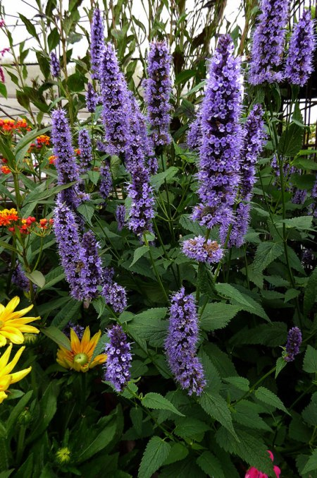 discover hummingbird mint sierra foothill garden. Black Bedroom Furniture Sets. Home Design Ideas
