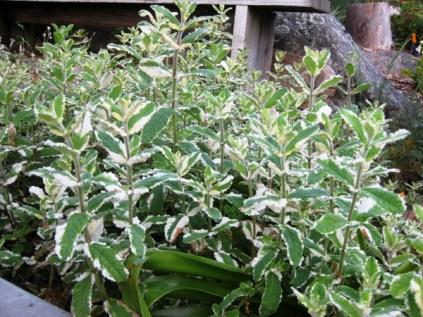 Pineapple Mint, Salvia elegans