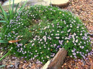 Swan River daisy forms a two foot round low mat, covered in flowers in September