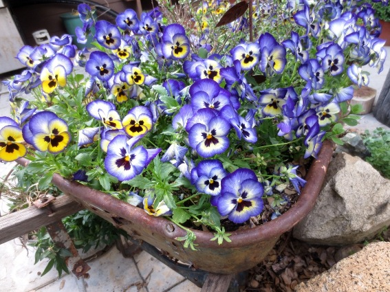 Earliest Spring Bloomers To Plant Now Sierra Foothill Garden