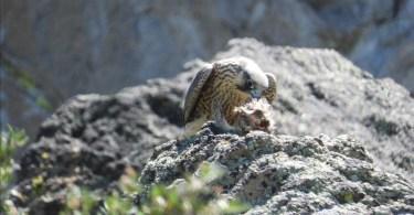 Pergrin falcon image Tahoe Fund Tahoe Basin fseprd786880