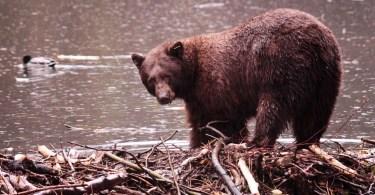 Tahoe Bear
