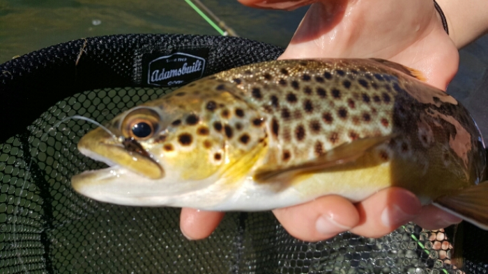 Lower Owens River Brown Trout