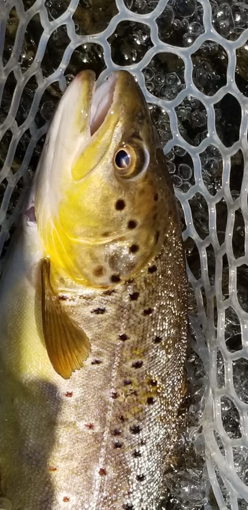 Wild brown trout with large spots landed in fishing net