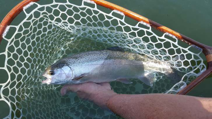 Silvery rainbow in net on Crowley Lake with Sierra trout magnet fly fishing