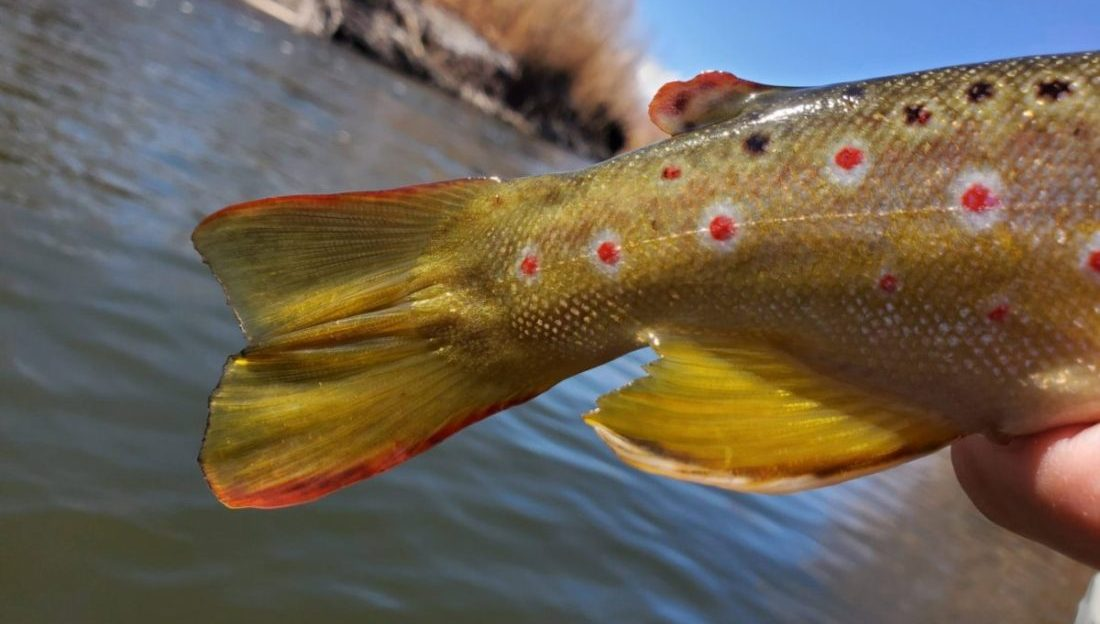 Beautiful tail and fins of a brown trout over the lower owens river