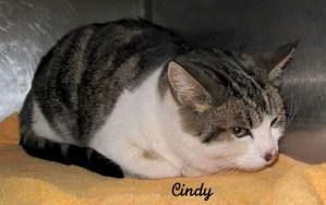13-01-25 White & Tabby spayed fem cat CINDY 2 ID13-01-021 - SBP 1-21 Wayne Deja FACEBOOK
