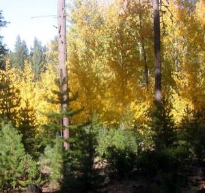 californiaforest