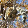ringtail 6_cropped