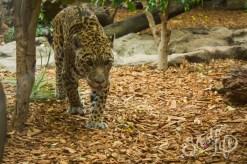 Лоро-парк: ягуар