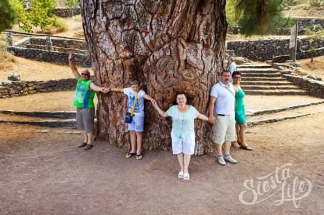 Самая большая канарская сосна — ствол около трех метров в диаметре