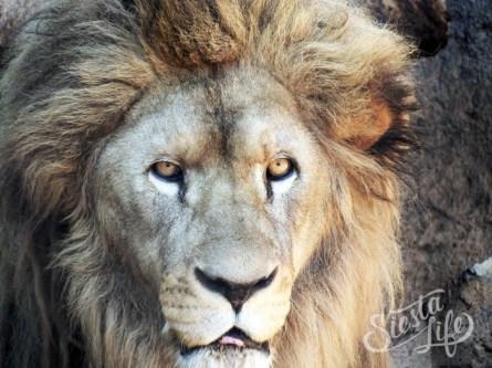 Лев в Джангл парке на Тенерифе