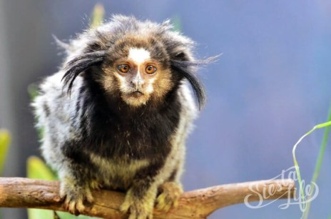 Маленькая обезьянка в Манки Парке на Тенерифе