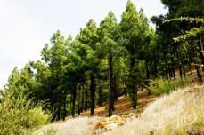 Канарская сосна, лес на горе