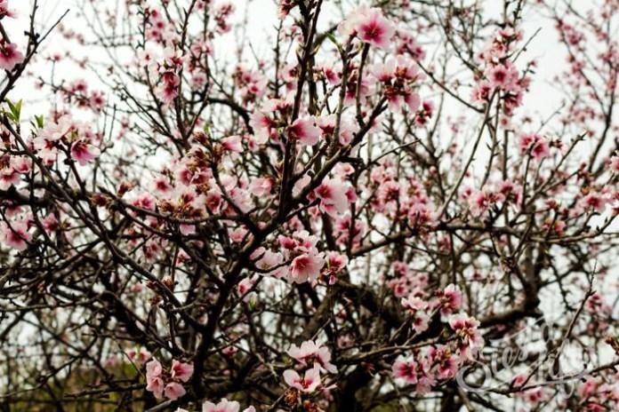 Буйное цветение миндаля на Тенерифе
