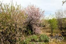 Дерево цветущего миндаля на Тенерифе
