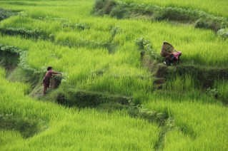 women harvesting rice in the countryside of Nepal