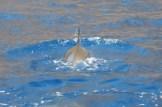 spinner dolphins kealekekua bay hawaii 2