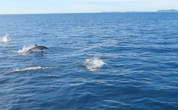 dolphins channel islands