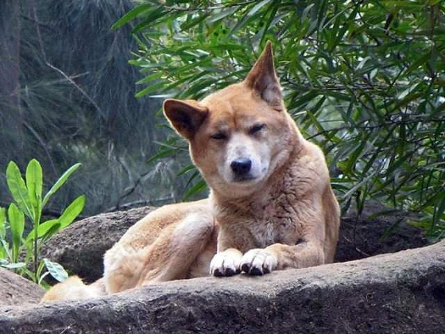 https://commons.wikimedia.org/wiki/File:Dingo_Perth_Zoo_SMC_Sept_2005.jpg