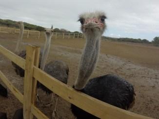 Curaçao Ostrich Farm