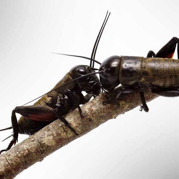 Symbolic Meaning of Crickets on Whats-Your-Sign