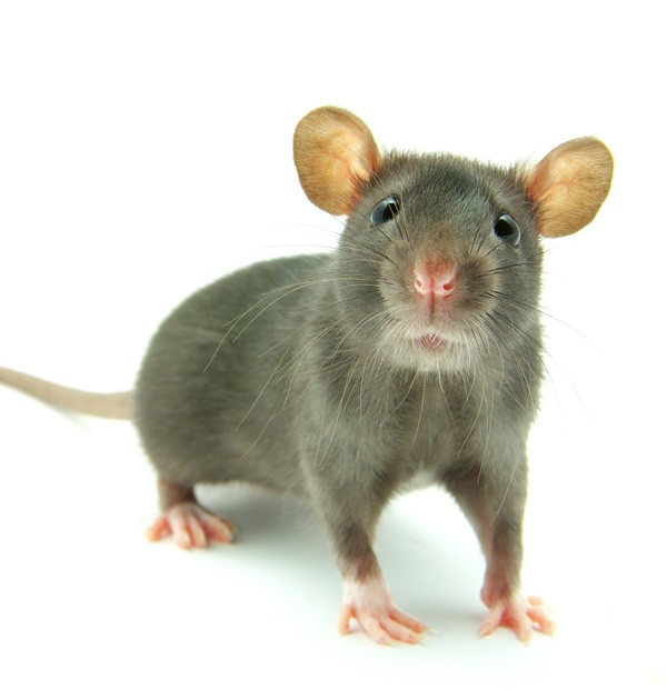 Symbolic Meaning of Rats and Rat Wisdom on Whats-Your-Sign