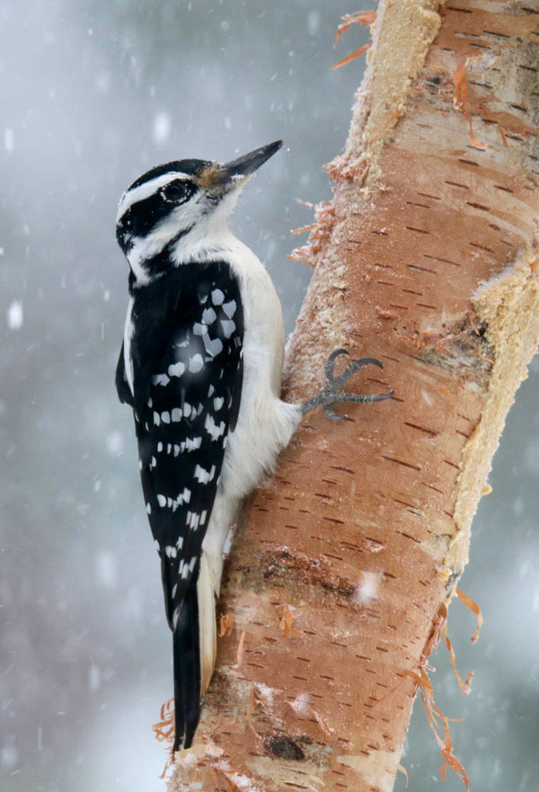 Symbolic Meaning of the Woodpecker on Whats-Your-Sign
